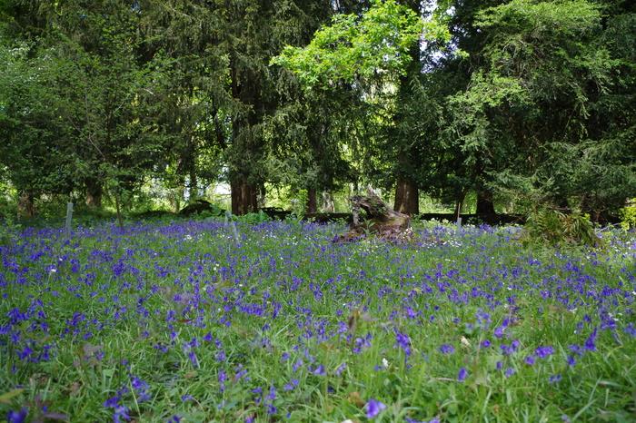 Колокольчики и другие цветы Англии. Англия, Колокольчики, Цветы, Сады, Природа, Длиннопост