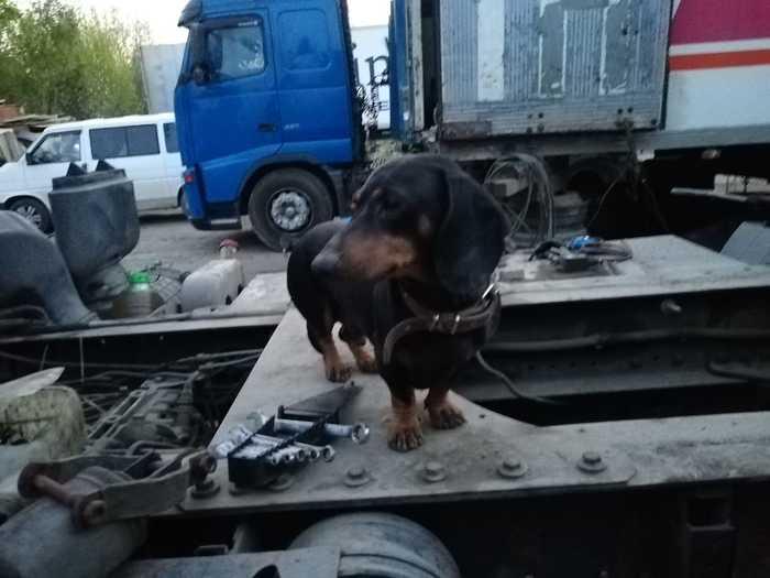 Нашлась собака Найдена собака, Животные, Собака, Такса, Электроугли, Ищу хозяина, Без рейтинга, Помощь