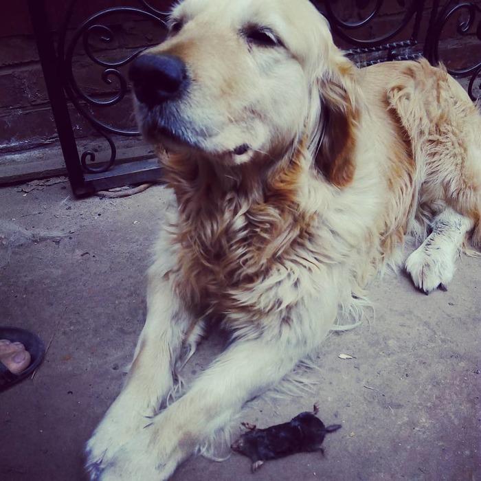 Хозяин, я исправилась))) Золотистый ретривер, Крот, Собака, Трофей, Домашние животные