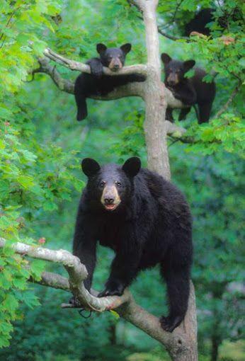 Медведи прилетели