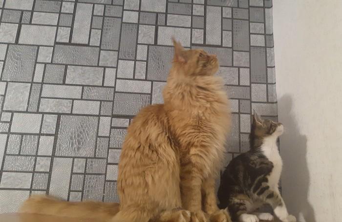 Ваши коты успешно синхронизированы Кот, Кошкин дом, Мейн-Кун, Дружба, Фотография, Длиннопост