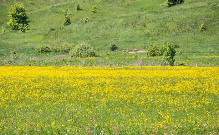 Целое поле лютика едкого Фотография, Пейзаж, Цветы