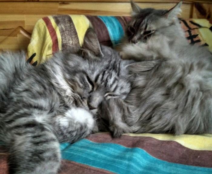 Лечебные коты. Котомафия, Мейн-Кун, Кот