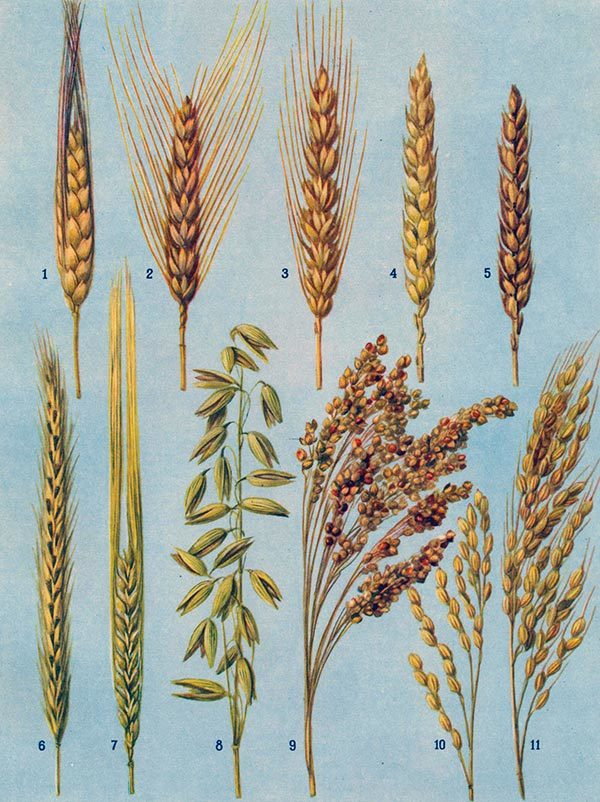 Вид проса зерно которого идет в пищу выращивают в китае