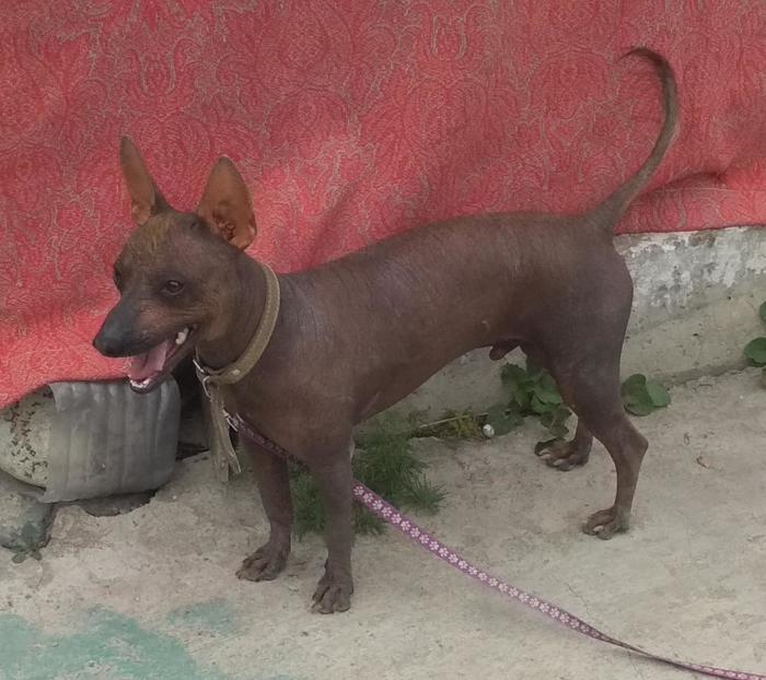 Найдена Перуанская лысая собака Найдена собака, Без рейтинга, Алматы, Алматинская область, Казахстан, Длиннопост, В добрые руки