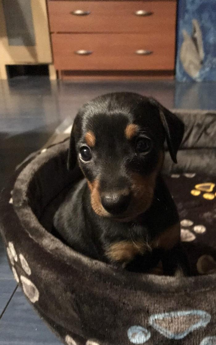 Немецкий пинчер Собака, Домашние животные, Немецкий пинчер, Пинчеры, Длиннопост