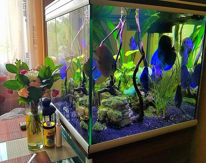 Мои дискусы Аквариум, Аквариумистика, Аквариумные рыбки, Дискусы, Длиннопост