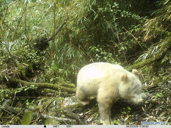 Первое фото панды альбиноса Панда, Животные, Альбиносы