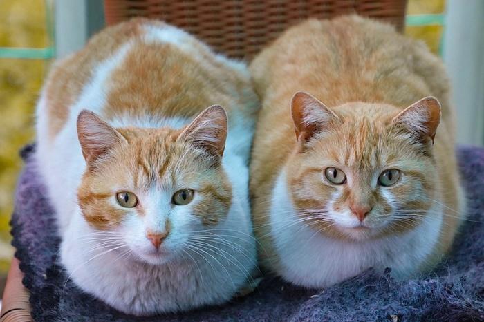 Сколько котов нужно заводить в одном доме? Кот, Дом, Второй, Территория, Хозяин, Питомец, Сиамский кот, Конкуренты, Длиннопост