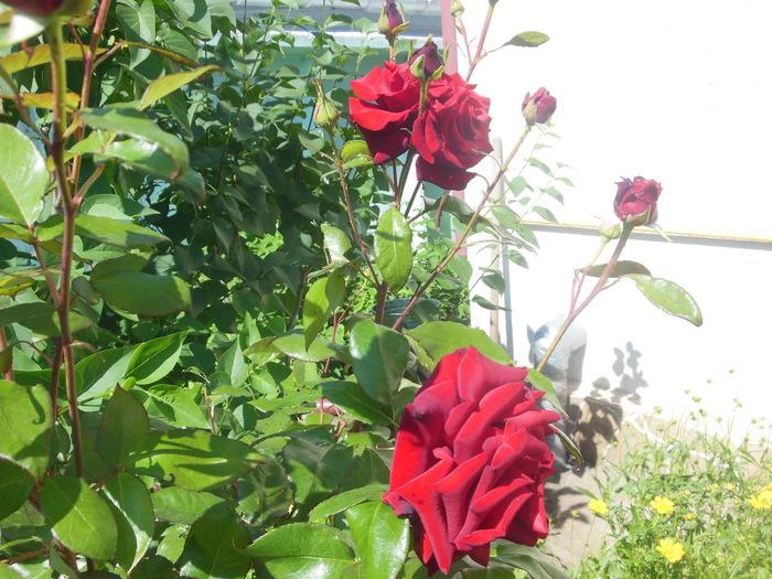 Что цветет сейчас вокруг моего дома ?Одесса. Украина, Одесса, 1200х800, Роза, Длиннопост