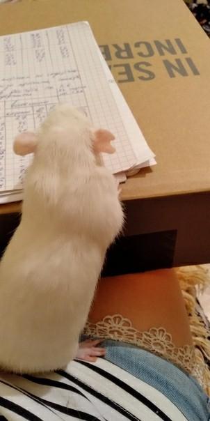 Помощница Декоративные крысы, Домашние животные, Студенты, Сессия, Милота, Крыса
