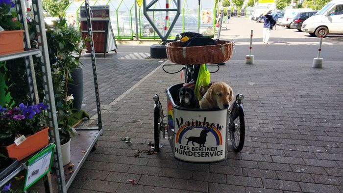 Собакены в тележке Собака, Милота, Тележка, Велосипед, Берлин, Золотистый ретривер