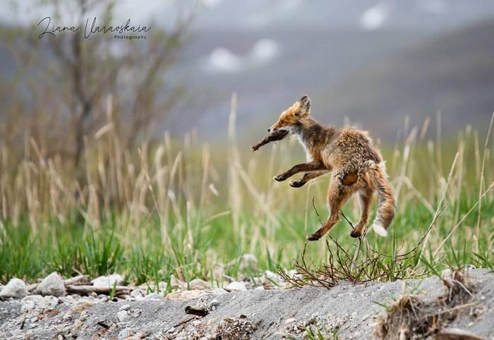 Лиса повышенной прыгучести Фотография, Животные, Лиса, Прыжок, Лиана Варавская