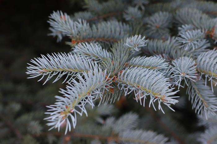 Picea pungens или ель голубая