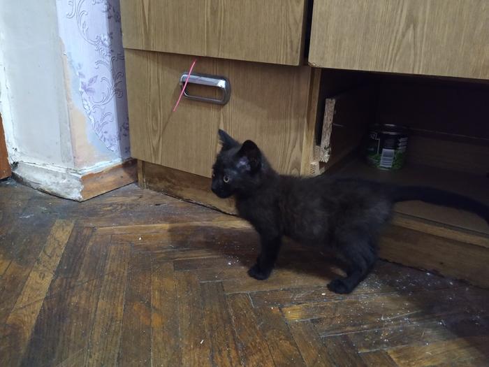 Темно-кофейный котенок срочно ищет дом Кот, Даром, Лобня, Срочно, Длиннопост, В добрые руки, Без рейтинга, Помощь животным