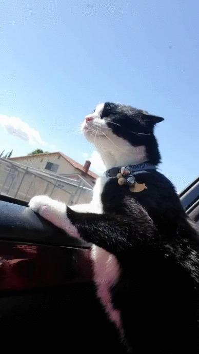А я сяду в кабриолет Кот, Котомафия, Машина, Смелость, Животные, Позитив, Видео, Гифка
