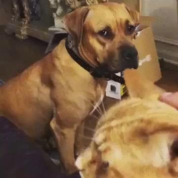 Так выглядит ревность Собака, Желтая южная гончая, Кот, Гладить, Ревность, Домашние животные, Видео, Гифка