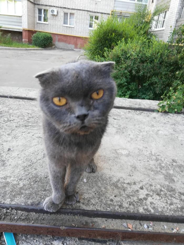 Г. Воронеж  У нас во дворе появился кот - британец. Видно, что домашний. Кот кастрированый. Хозяин найдись!!