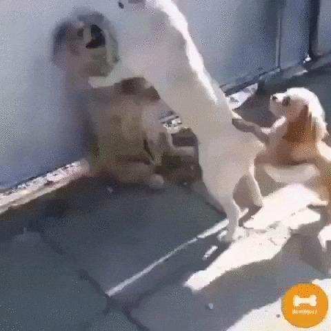 Мальчики, не ссорьтесь! Собака, Животные, Ссора, Схватка, Примирение, Видео, Гифка