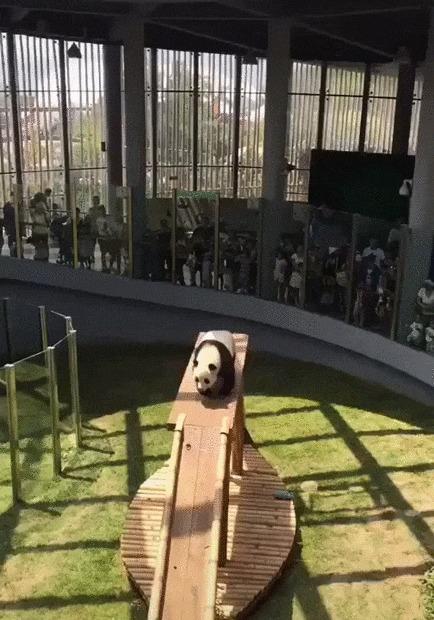 Безудержное веселье Панда, Животные, Зоопарк, Горка, Позитив, Гифка