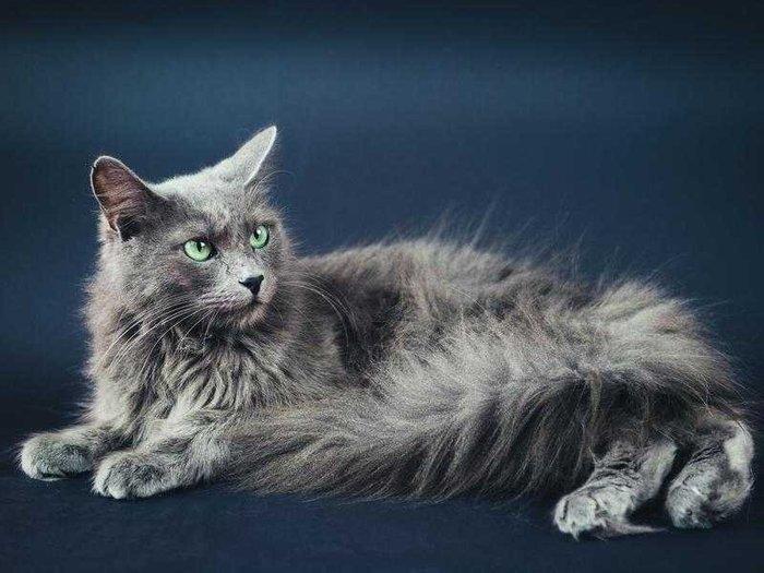 русская голубая длинношерстная кошка фото легко переваривается, перегружая