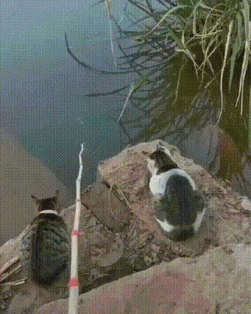 Прирожденные рыбаки Кот, Рыбалка, Рыба, Гифка