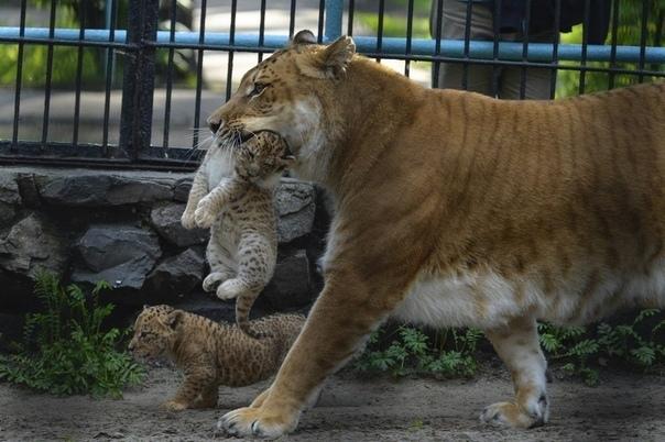 Топ-10 зоопарков России. — гибрида африканского льва и бенгальской тигрицы