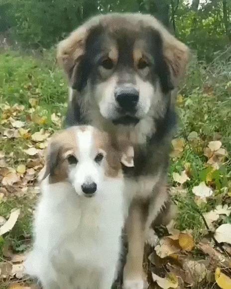 У собак тоже есть чувства Собака, Тибетский мастиф, Домашние животные, Обнимашки, Милота, Гифка