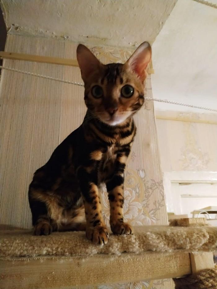 Красотка Бенгальская кошка, Красотка на всю голову, Длиннопост, Кот