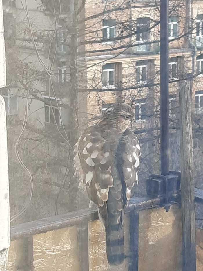 Вот такой гость залетел на балкон Птицы, Что за птица, Орнитология, Длиннопост