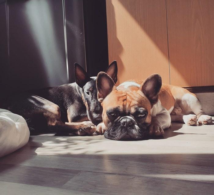 Два поросёнка Собака, Французский бульдог, Бультерьер