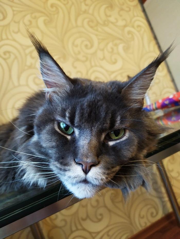 Кот. Просто кот. Кот, Мейн-кун