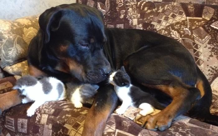Ротвейлер и приёмные котята Собака, Ротвейлер, Котята, Добро