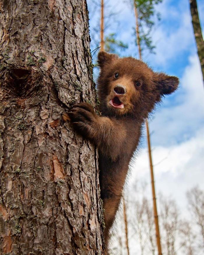 Мишка на дереве Фотография, Животные, Медведь, Детеныш