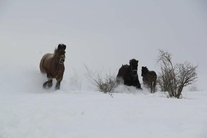 Зима. 2014г Лошади, Зима, Тяжеловоз