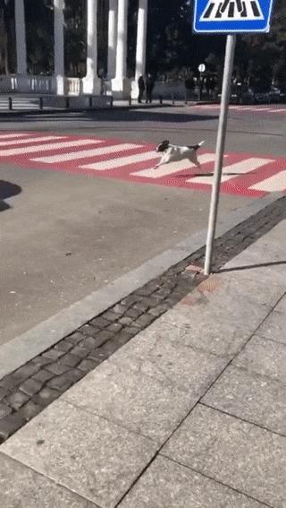 Уличная собака помогает детям перейти дорогу Гифка, Дети, Собака, Пешеходный переход