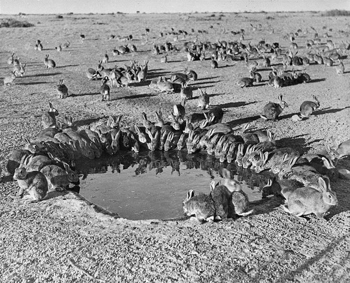 Однажды Австралия влипла в войну с кроликами