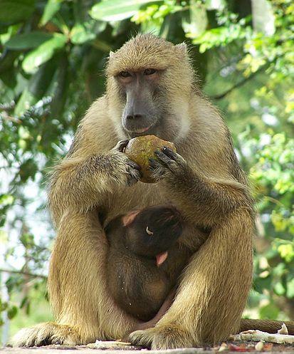 Почему обезьяны не эволюционируют и не превращаются в людей?