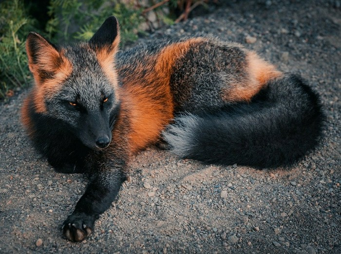Величественный лис