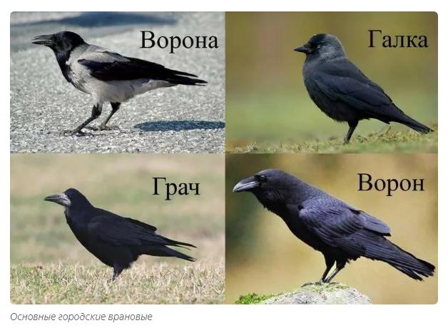 Грач Секреты доминации в условиях города и особый интеллект этой птицы