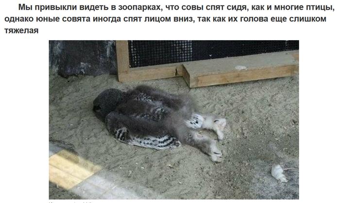 Совенок спит