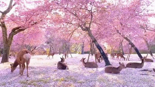 Оленята отдыхают под ветвями сакуры
