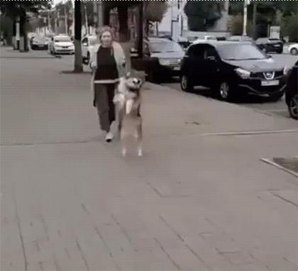 Собака-кенгуряка Собака, Походка, Домашние животные, Воронеж, Гифка, Прогулка, На задних лапах