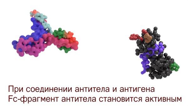 Наши внутренние войска: антитела - что было дальше? Иммунитет, Иммунология, Медицина, Антитела, Биология, Гифка, Видео, Длиннопост