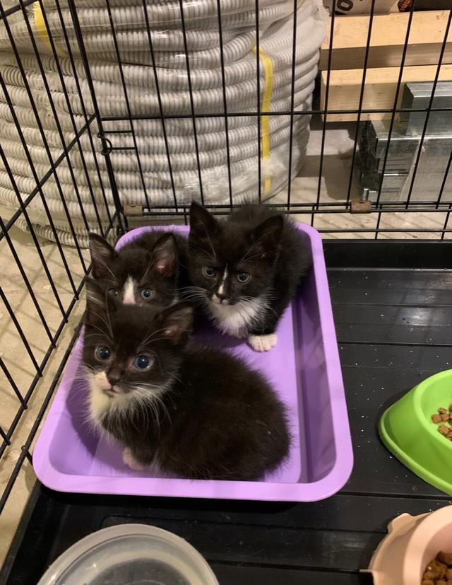 Котята из клиники, которая закрывается через три дня, очень нужен дом. Два мальчика и девочка. СПб и ЛО