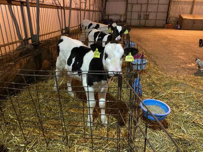Ответ на пост Про коров и молоко