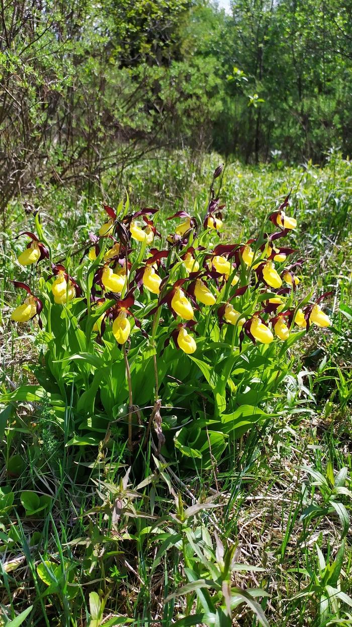 Краснокнижные (и не только) орхидеи в Ленобласти