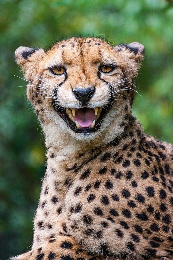Мимика гепардов просто бесценна!