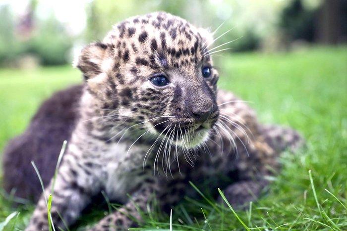 Котята дальневосточного леопарда в сафари-парке quotТайганquot