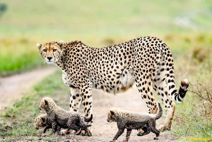 У гепардов пополнение
